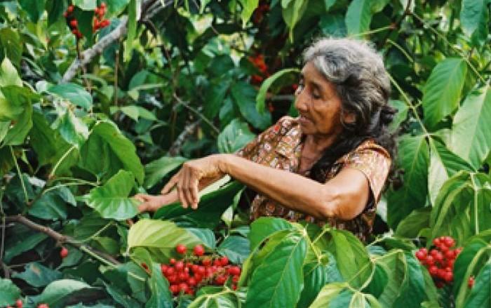 cueillette guarana